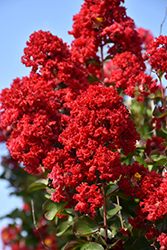 Dynamite Crapemyrtle (Lagerstroemia indica 'Whit II') at Roger's Gardens