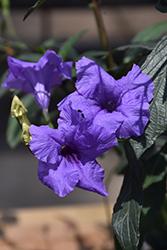 Mayan Purple Mexican Petunia (Ruellia simplex 'Mayan Purple') at Roger's Gardens