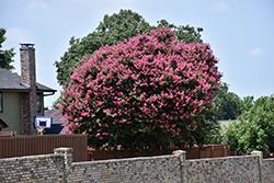 Zuni Crapemyrtle (Lagerstroemia 'Zuni') at Roger's Gardens