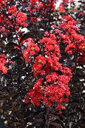 Black Diamond Best Red Crapemyrtle (Lagerstroemia indica 'Black Diamond Best Red') at Roger's Gardens