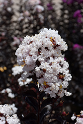 Black Diamond Pure White Crapemyrtle (Lagerstroemia indica 'Black Diamond Pure White') at Roger's Gardens