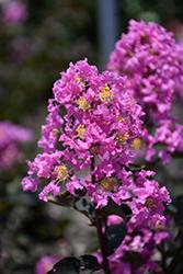 Black Diamond Lavender Lace Crapemyrtle (Lagerstroemia indica 'Black Diamond Lavender Lace') at Roger's Gardens