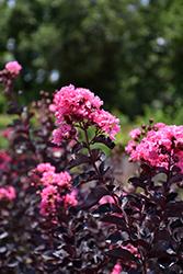 Black Diamond Shell Pink Crapemyrtle (Lagerstroemia indica 'Black Diamond Shell Pink') at Roger's Gardens