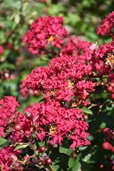Petite Red Imp Crapemyrtle (Lagerstroemia indica 'Monimp') at Roger's Gardens