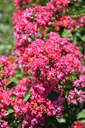Petite Embers Crapemyrtle (Lagerstroemia indica 'Moners') at Roger's Gardens