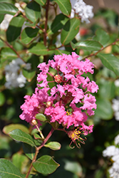 Petite Pinkie Crapemyrtle (Lagerstroemia indica 'Monkie') at Roger's Gardens