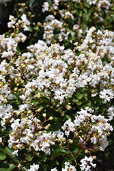 Petite Snow Crapemyrtle (Lagerstroemia indica 'Monow') at Roger's Gardens