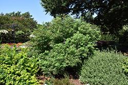 Delta Blues Chaste Tree (Vitex agnus-castus 'PIIVAC-I') at Roger's Gardens