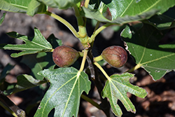 Little Miss Figgy Fig (Ficus carica 'MAJOAM') at Roger's Gardens