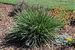Coolvista Dianella (Dianella revoluta 'Allyn-Citation') at Roger's Gardens