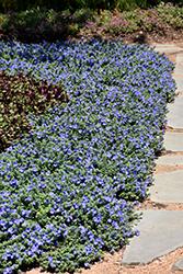 Blue My Mind Morning Glory (Evolvulus 'USEVO1201') at Roger's Gardens