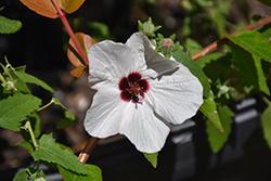 Brazilian Rock Rose (Pavonia braziliensis) at Roger's Gardens