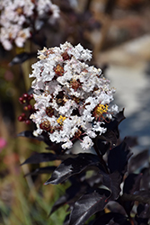 Ebony And Ivory Crapemyrtle (Lagerstroemia 'Ebony And Ivory') at Roger's Gardens
