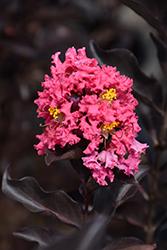 Ebony Rose Crapemyrtle (Lagerstroemia 'Ebony Rose') at Roger's Gardens