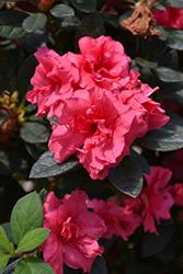 Encore Autumn Rouge Azalea (Rhododendron 'Conlea') at Roger's Gardens