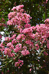 Peppermint Lace Crapemyrtle (Lagerstroemia indica 'Peppermint Lace') at Roger's Gardens