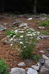 Common Yarrow (Achillea millefolium) at Roger's Gardens