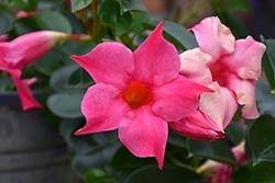 Pink Mandevilla (Mandevilla 'Pink') at Roger's Gardens