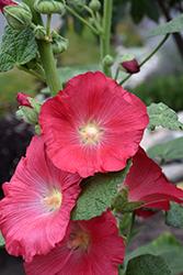 Hollyhock (Alcea rosea) at Roger's Gardens