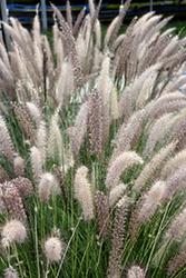 Fountain Grass (Pennisetum setaceum) at Roger's Gardens