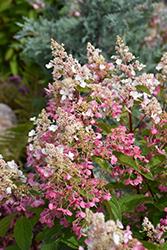 Pinky Winky Hydrangea (tree form) (Hydrangea paniculata 'DVP PINKY') at Roger's Gardens