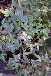 Ritterkreuz Ivy (Hedera helix 'Ritterkreuz') at Roger's Gardens