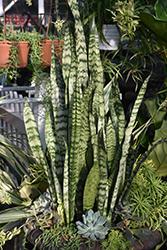 Ceylon Bowstring Hemp (Sansevieria zeylanica) at Roger's Gardens
