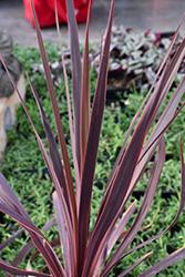 Black Knight Grass Palm (Cordyline australis 'Black Knight') at Roger's Gardens