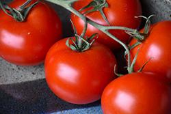 Slicer Tomato (Generic) (Solanum lycopersicum 'Slicer') at Roger's Gardens
