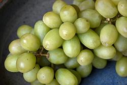 Thompson Seedless Grape (Vitis 'Thompson Seedless') at Roger's Gardens