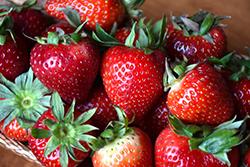 Ozark Beauty Strawberry (Fragaria 'Ozark Beauty') at Roger's Gardens
