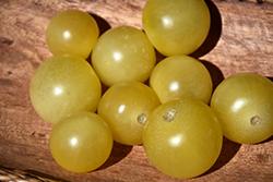 Italian Ice Tomato (Solanum lycopersicum 'Italian Ice') at Roger's Gardens