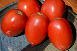 Italian Tomato (Solanum lycopersicum 'Italian') at Roger's Gardens