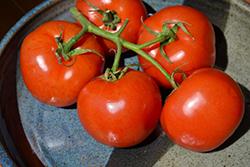 Manitoba Tomato (Solanum lycopersicum 'Manitoba') at Roger's Gardens
