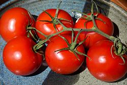 Siberian Tomato (Solanum lycopersicum 'Siberian') at Roger's Gardens