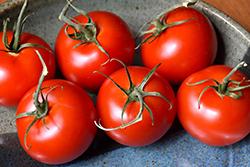 Patio Tomato (Solanum lycopersicum 'Patio') at Roger's Gardens