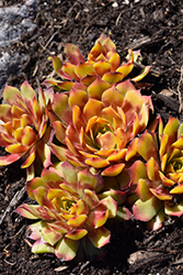 Gold Nugget Hens And Chicks (Sempervivum 'Gold Nugget') at Roger's Gardens