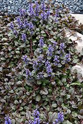 Mahogany Bugleweed (Ajuga reptans 'Mahogany') at Roger's Gardens
