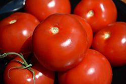 Stupice Tomato (Solanum lycopersicum 'Stupice') at Roger's Gardens