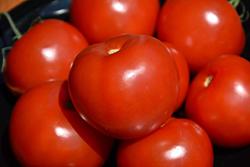Mountain Merit Tomato (Solanum lycopersicum 'Mountain Merit') at Roger's Gardens