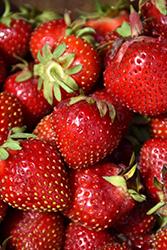 Delizz Strawberry (Fragaria 'Delizz') at Roger's Gardens