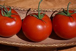 Early Cascade Tomato (Solanum lycopersicum 'Early Cascade') at Roger's Gardens