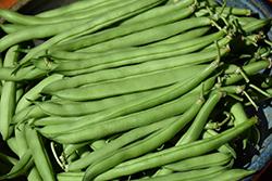 French Bean (Phaseolus vulgaris) at Roger's Gardens