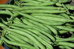 Maxibel Bush Bean (Phaseolus vulgaris 'Maxibel') at Roger's Gardens