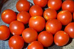 Braveheart Tomato (Solanum lycopersicum 'Braveheart') at Roger's Gardens