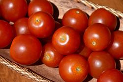 Husky Tomato (Solanum lycopersicum 'Husky') at Roger's Gardens