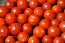 Sweetie Tomato (Solanum lycopersicum 'Sweetie') at Roger's Gardens