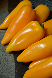 Lunchbox Yellow Sweet Pepper (Capsicum annuum 'Lunchbox Yellow') at Roger's Gardens