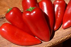 Mariachi Pepper (Capsicum annuum 'Mariachi') at Roger's Gardens