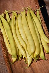 Yellow Bean (Phaseolus vulgaris 'Yellow') at Roger's Gardens